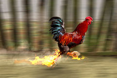 Cock. Running at high speed Royalty Free Stock Photos
