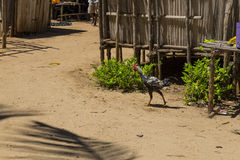 Cock running on a Malagasy farm house Stock Photo