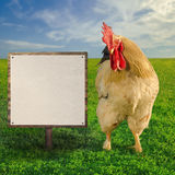 Cock showing the blank white board - square composition Stock Photos