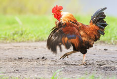 smartly paces along the road, waving his wings Royalty Free Stock Photography