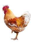 Cock standing on one leg Stock Images