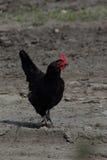 Cock walking Royalty Free Stock Photo