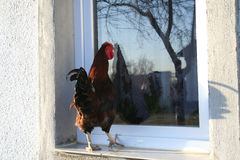 Cock in the window. A cock look at the window of rustic house. Trees reflexion Royalty Free Stock Photography
