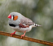 A cock zebra finch Royalty Free Stock Photo