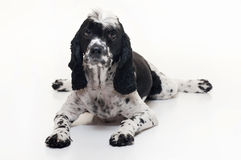 Cockalier Spaniel Dog Lying Down Stock Images