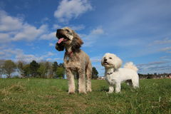 Cockapoo和havanese狗 图库摄影