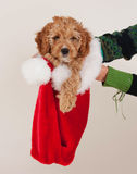 Cockapoo圣诞节小狗 免版税图库摄影