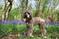 Cockapoo狗和会开蓝色钟形花的草 库存图片