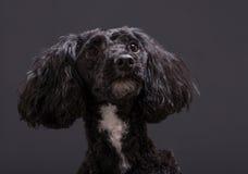Cockapoo西班牙猎狗和长卷毛狗发怒杂种 库存图片