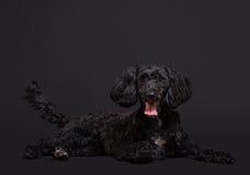 Cockapoo西班牙猎狗和长卷毛狗发怒杂种 免版税库存图片