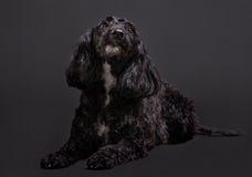 Cockapoo西班牙猎狗和长卷毛狗发怒杂种 库存照片