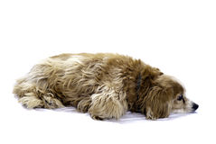 Cockapoo. A cockapoo lying on the floor, isolated against a white background Royalty Free Stock Photo