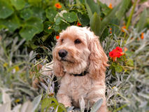 Cockapoo 3 Photos stock