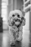 Cockapoo bring ball back to owner Royalty Free Stock Photography