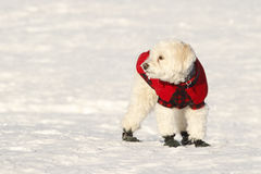 Cockapoo in Coat and Boots. White Cockapoo Wearing Red Coat and Boots in Snow Royalty Free Stock Photography