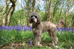 Cockapoo dog and bluebells Stock Images