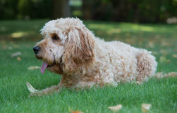 Cockapoo dog in the garden Royalty Free Stock Photos