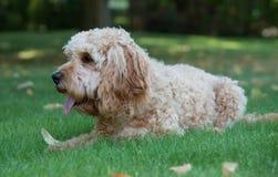 Cockapoo dog in the garden Royalty Free Stock Photos