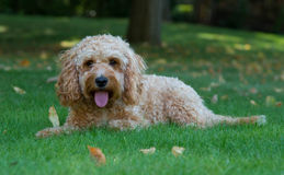 Cockapoo Dog In The Garden Royalty Free Stock Image