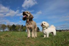 Cockapoo e cães havanese Fotografia de Stock
