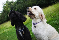 Cockapoo e Goldendoodle Foto de Stock