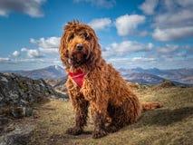 Cockapoo em uma montanha escocesa fotos de stock
