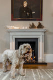 Cockapoo in grand living room infront of fireplace Royalty Free Stock Photo