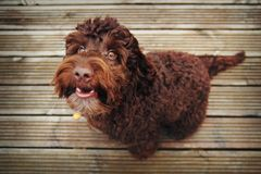 The cockapoo is a happy dog. royalty free stock photography