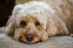 Cockapoo with head on pillow Stock Photos