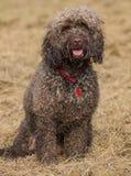Cockapoo-Hund Lizenzfreie Stockfotografie