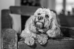 Cockapoo looking out the window Royalty Free Stock Image