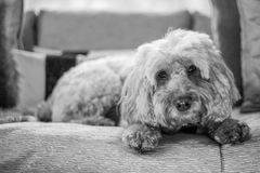 Cockapoo looking sad Stock Image