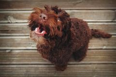 The cockapoo is a pleased to meet you. Happy brown dog barking with pleasure Royalty Free Stock Photo