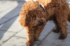 Cockapoo poodle dog teddy bear royalty free stock image