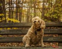 Cockapoo premuroso che si siede sul banco di parco Fotografia Stock Libera da Diritti