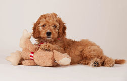Cockapoo puppy with a bear toy Royalty Free Stock Images