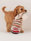 Cockapoo puppy with christmas sock Royalty Free Stock Photography