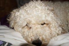 Cockapoo puppy feeling lazy royalty free stock photo