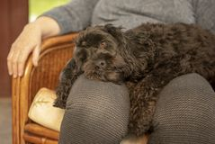 Cockapoo puppy resting on owner. S lap royalty free stock photos