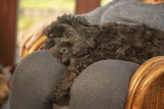 Cockapoo puppy sleeping on owners lap. At home royalty free stock photos