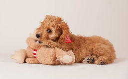 Cockapoo puppy with toy Royalty Free Stock Photo
