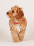 Cockapoo puppy walking Stock Photography