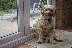 Cockapoo satt vid dörren royaltyfri fotografi