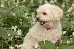 Cockapoo sitting in a patch of white trilliums Stock Photo