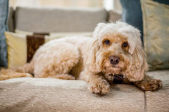 Cockapoo on sofa infront of fire Royalty Free Stock Photos