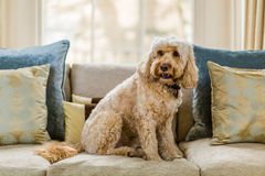 Cockapoo on sofa Royalty Free Stock Images