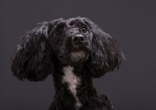 Cockapoo spaniel and poodle cross hybrid. Cockapoo dog a designer hybrid poodle crossed with cocker spainiel stock image