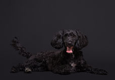 Cockapoo spaniel and poodle cross hybrid. Cockapoo dog a designer hybrid poodle crossed with cocker spainiel royalty free stock images