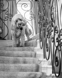 Cockapoo on stairs Royalty Free Stock Image