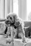 Cockapoo with tongue out on sofa Royalty Free Stock Photos